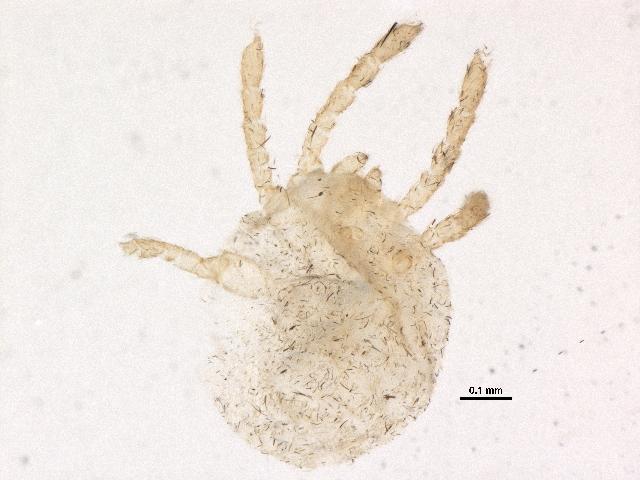 Image of Calyptostomatidae