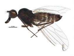 Image of Heleodromia