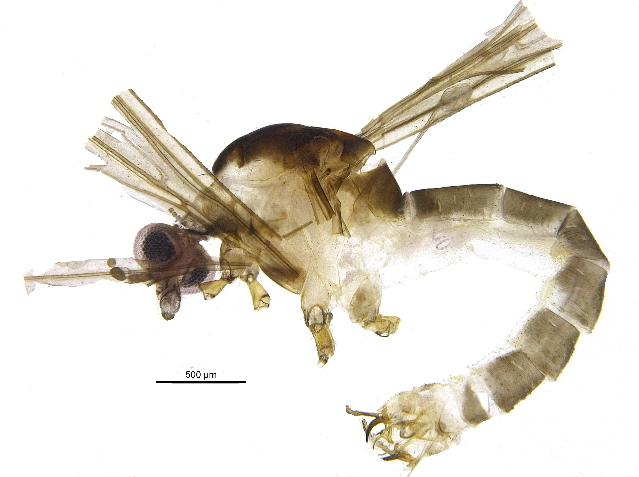 Image of Gonomyia