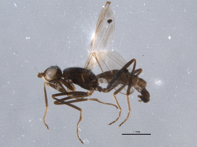 Image of <i>Strongylophthalmyia pengellyi</i> Barber 2006