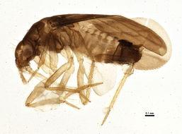 Image of Ceratocombidae