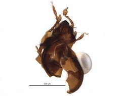 Image of Humerobatidae