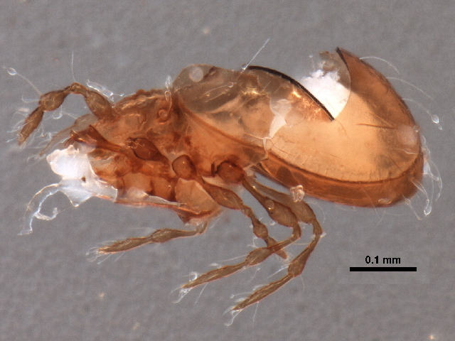 Image of <i>Allosuctobelba obtusa</i> (Jacot 1938)