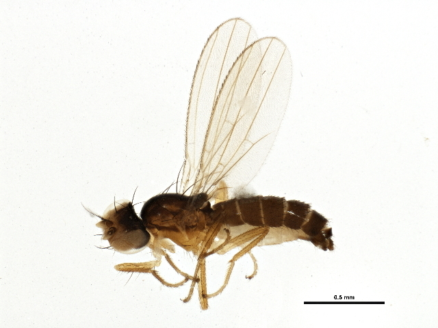 Image of <i>Mumetopia occipitalis</i> Melander 1913