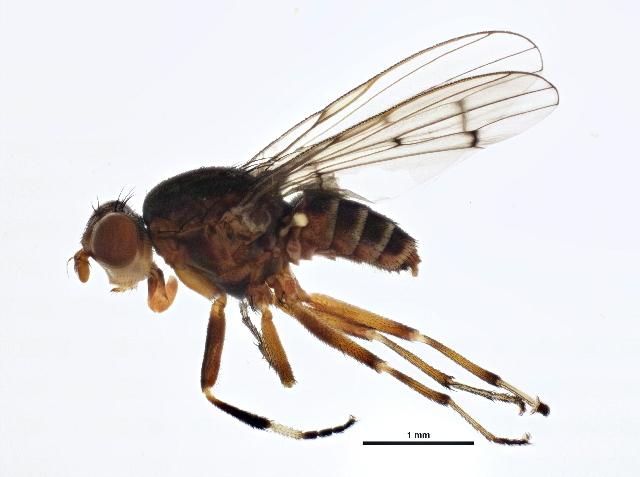 Image of <i>Atrichomelina pubera</i> (Loew 1862)