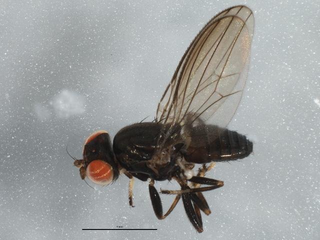 Image of <i>Aulacigaster mcalpinei</i> Mathis & Freidberg 1994