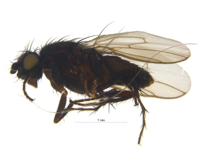 Image of <i>Leptocera limosa</i> (Fallen 1820)