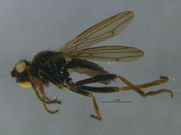 Image of <i>Copromyza neglecta</i> (Malloch 1913)