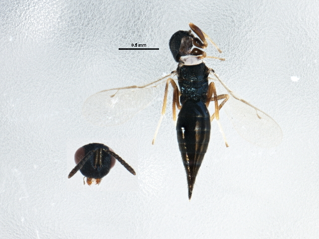 Image of <i>Pteromalus phycidis</i> (Ashmead 1898)