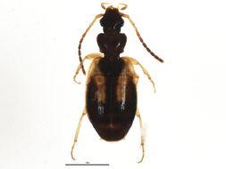 Image of <i>Axinopalpus biplagiatus</i> (Dejean 1825)