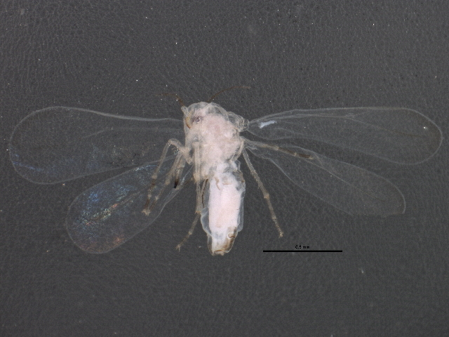 Image of Greenhouse whitefly
