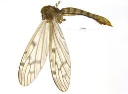 Image of <i><i>Metalimnobia</i></i> (Metalimnobia) <i>novaeangliae</i> (Alexander 1929)