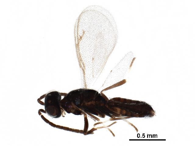 Image of <i>Brasema leucothysana</i> Gibson 1995