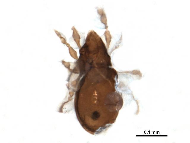 Image of Autognetidae