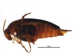 Image of <i>Glipostenoda ambusta</i> (Le Conte 1862)