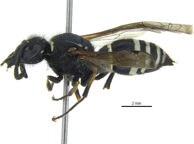 Image of <i>Odynerus dilectus</i> de Saussure 1870