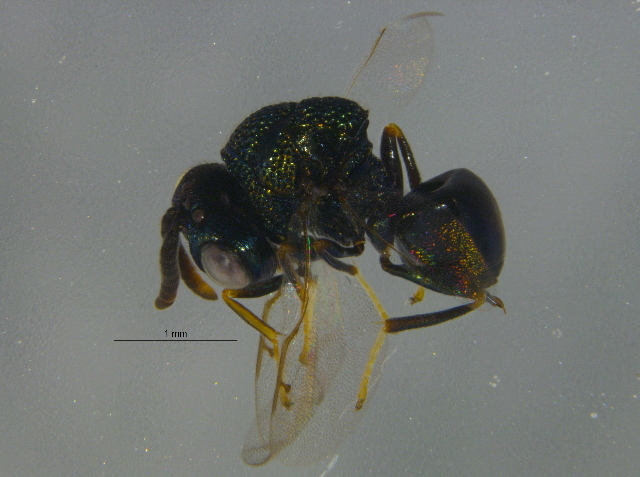 Image of <i>Perilampus chrysopae</i> Crawford 1914