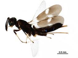 Image of <i>Zaischnopsis bouceki</i> Gibson 2005