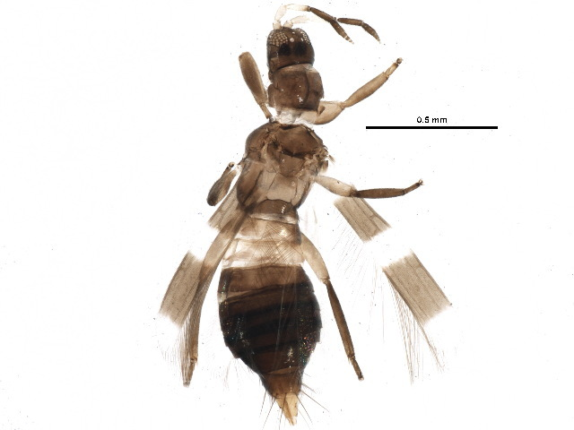 Image of <i>Aeolothrips ericae</i> Bagnall 1920