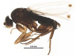 Image of <i>Megaselia conglomerata</i> (Malloch 1912)