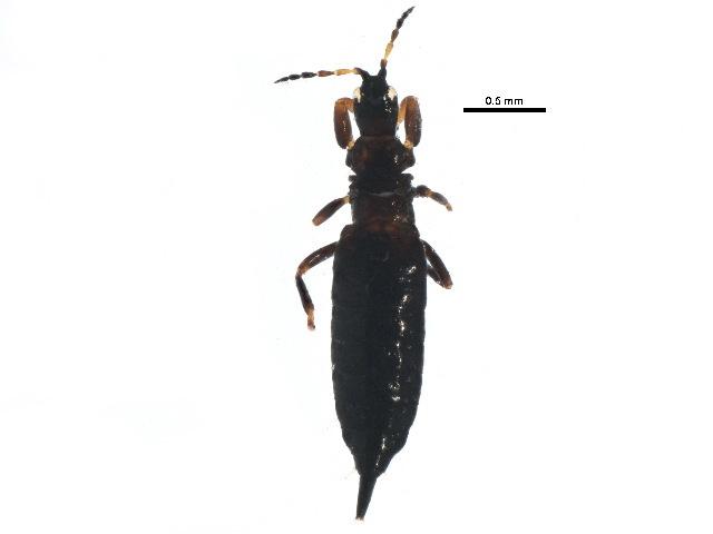 Image of Bolothrips