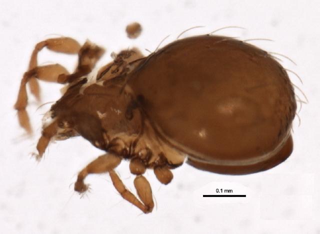 Image of Phauloppia