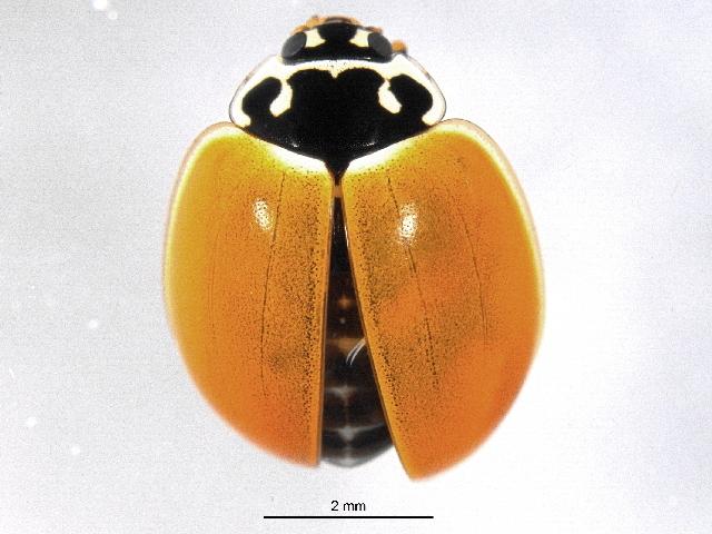 Image of Polished Lady Beetle