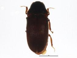 Image of <i>Aulonothroscus punctatus</i> (Bonvouloir 1859)