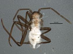 Image of <i>Prepops circumcinctus</i> (Say 1832)