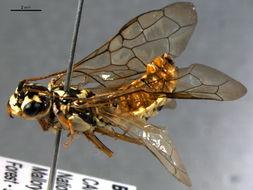 Image of Acantholyda