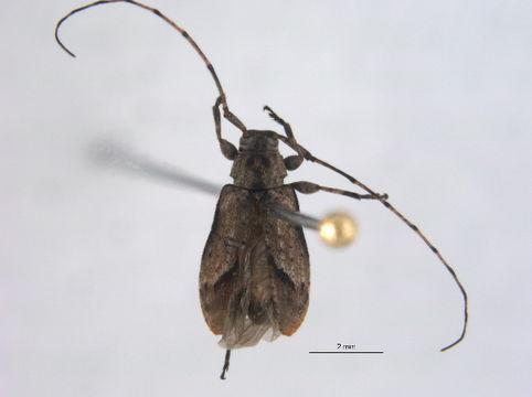 Image of Sternidius