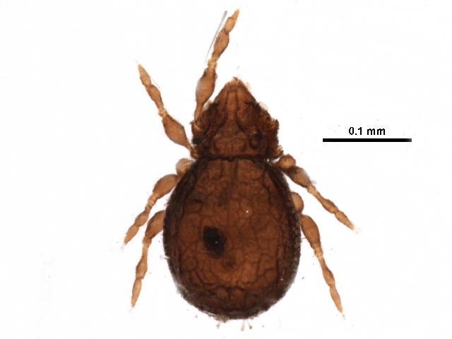 Image of Anderemaeidae
