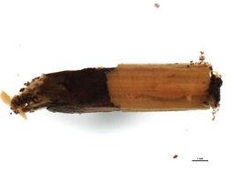 Image of <i>Lepidostoma</i> XZ