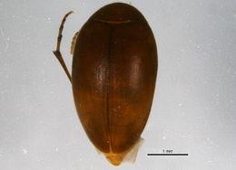 Image of <i>Nycteus punctulatus</i> (Le Conte 1875)