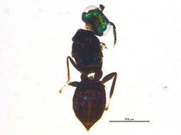Image of <i>Closterocerus trifasciatus</i> Westwood 1833