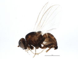 Image of <i>Agromyza bispinata</i> Spencer 1969
