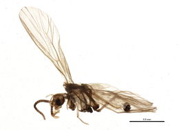 Image of Coniopteryginae