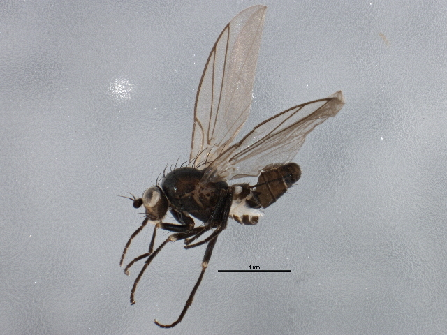 Image of <i>Chromatomyia puccinelliae</i> Spencer 1969
