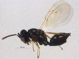 Image of Thinodytes