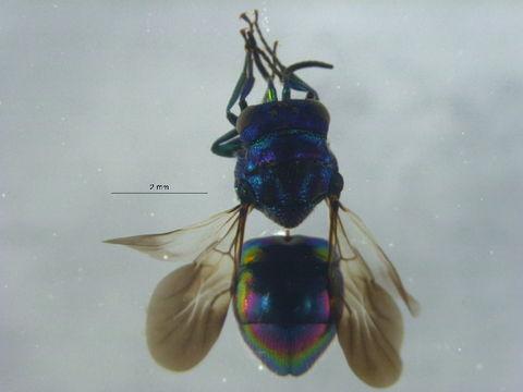 Image of Pseudomalus Ashmead 1902