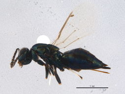 Image of Euderus