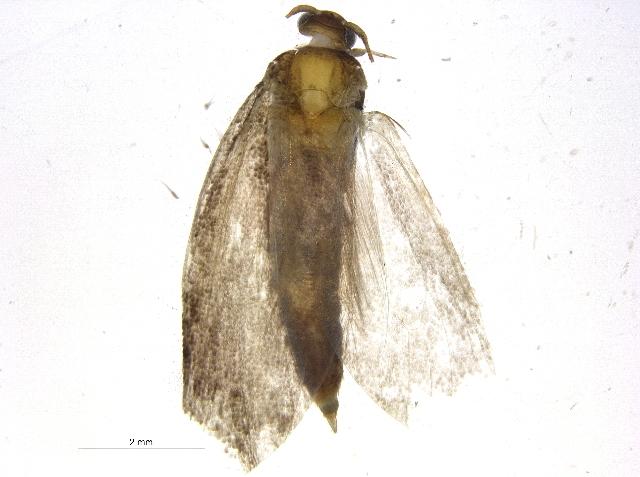 Image of Ypsolopha Latreille 1796