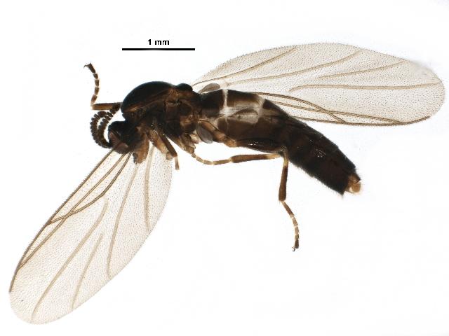 Image of <i>Synneuron decipiens</i> Hutson 1977