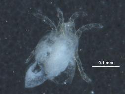 Image of Anisitsiellidae