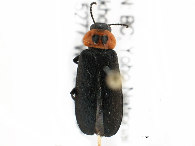 Image of <i>Phryganophilus collaris</i> LeConte 1859