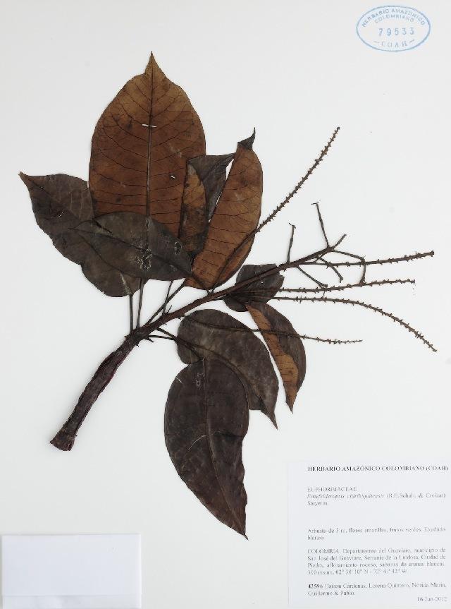 539.coah senefelderopsis chiribiquitensis 79533 1378435462 jpg