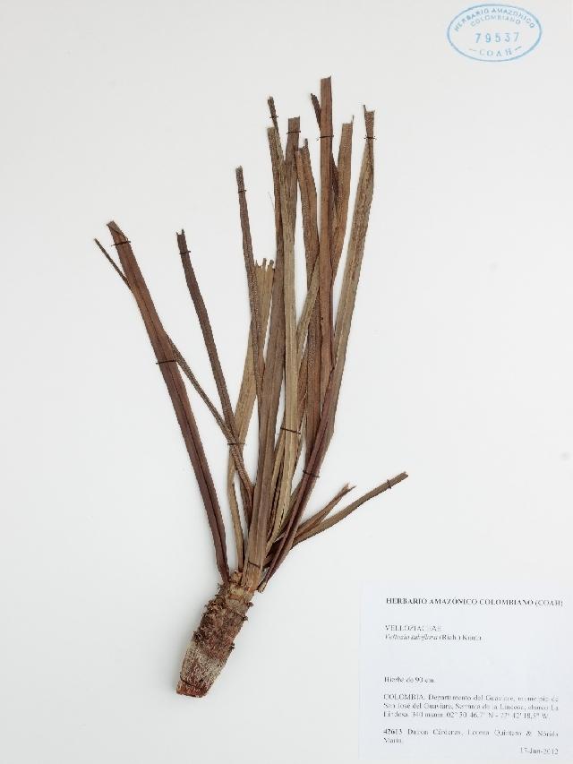 Image of Velloziaceae