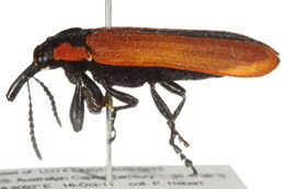 Image of cycad weevils