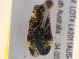 Image of <i>Hypocisseis sulcata</i>