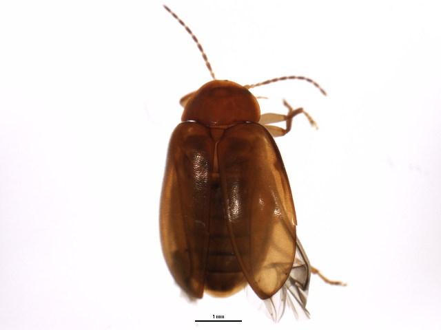 Image of <i>Pseudomicrocara hangayi</i> Watts 2007